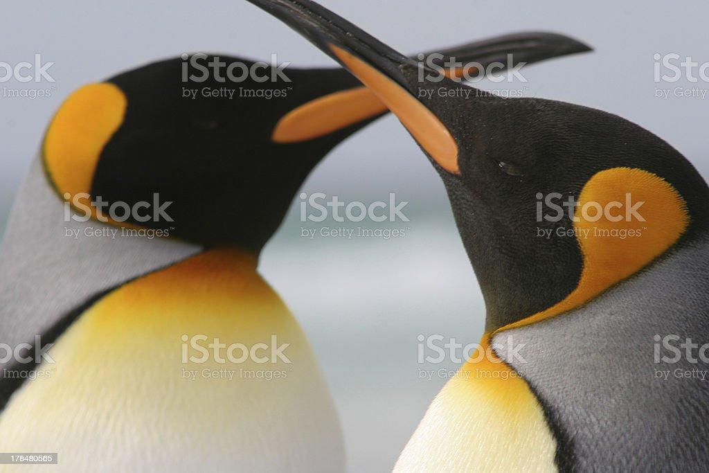 King Penguin couple with crossed beaks. stock photo