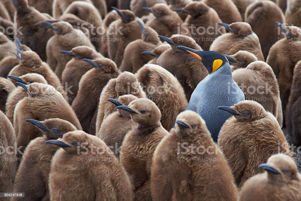 King Penguin Creche stock photo