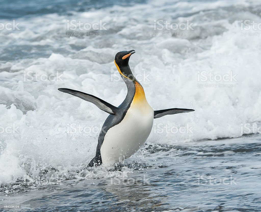 King Penguin dancing in the waves stock photo