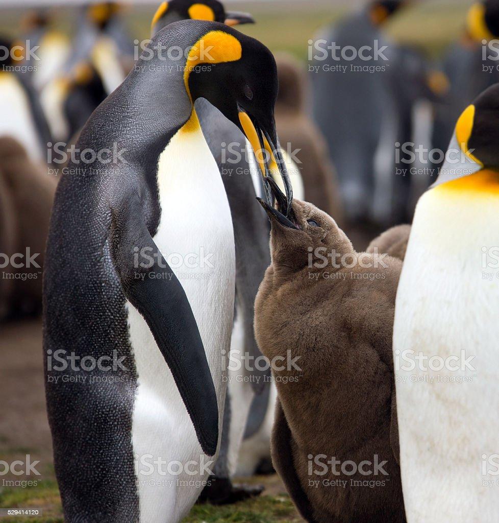 King Penguin feeding chick - Falkland Islands stock photo