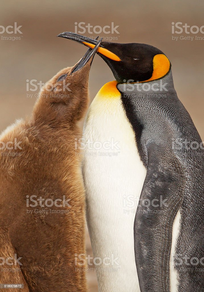King penguin feeding chick stock photo