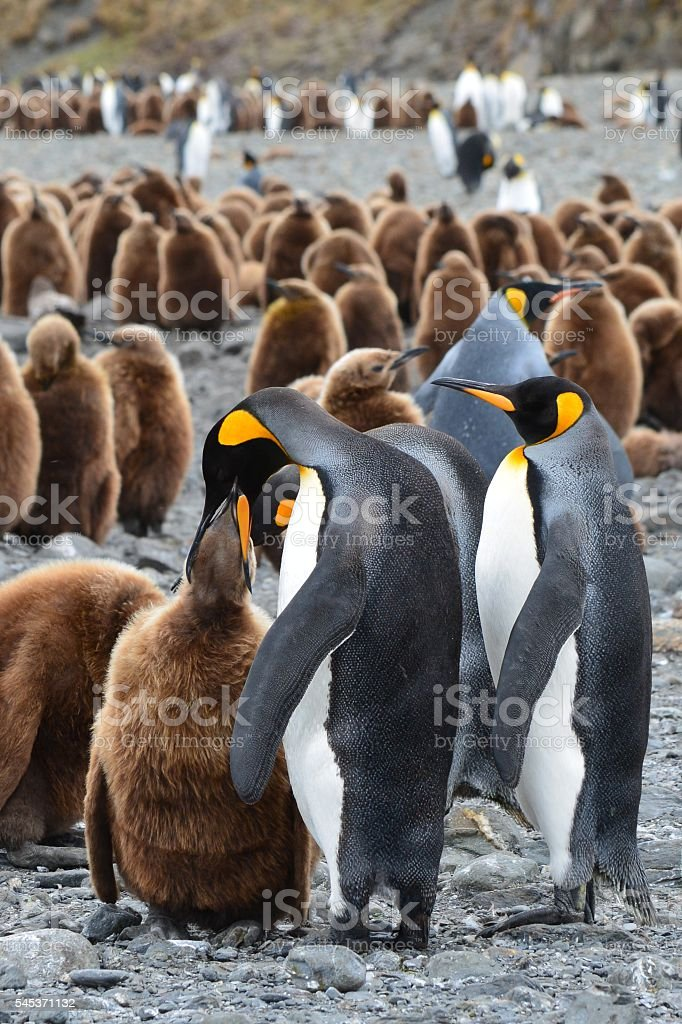 King Penguin Feeding stock photo
