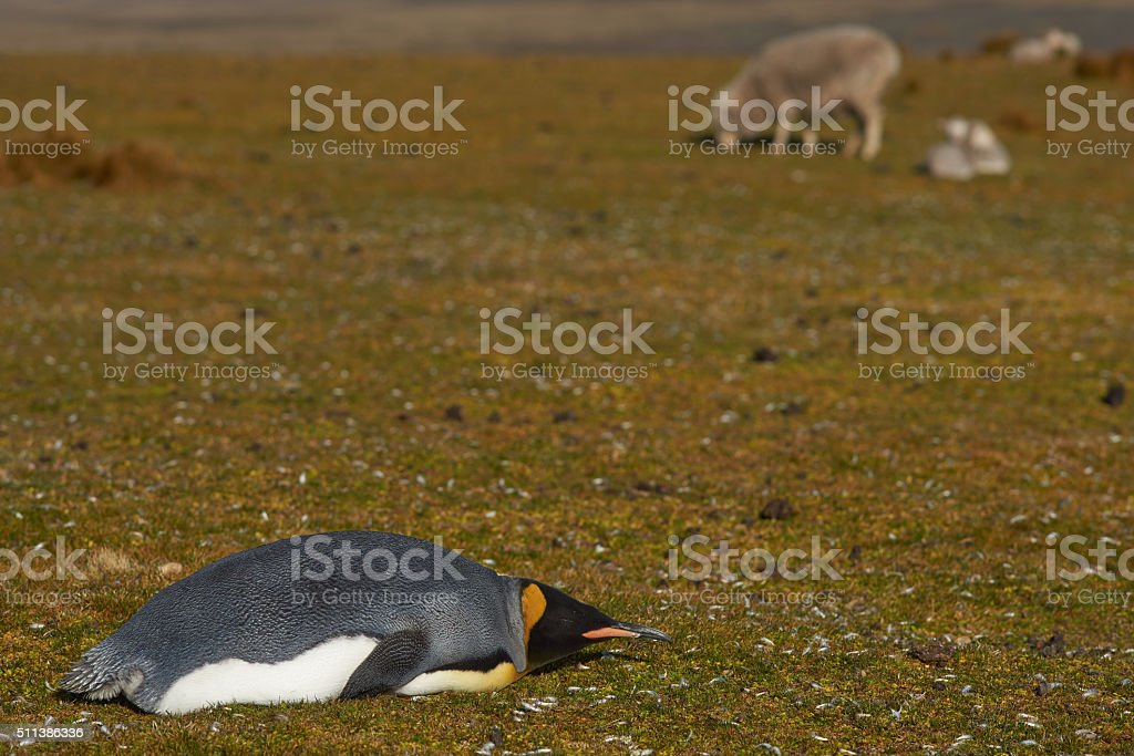 King Penguin in a Field of Sheep stock photo