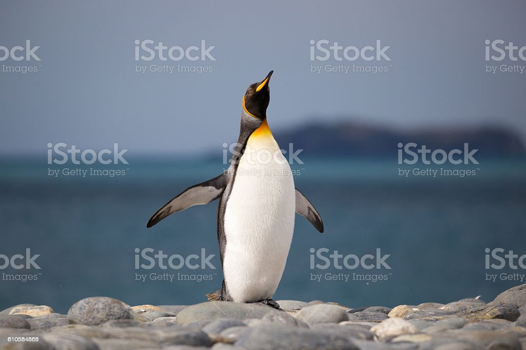 King Penguin makes a call on South Georgian Pebble Beach stock photo
