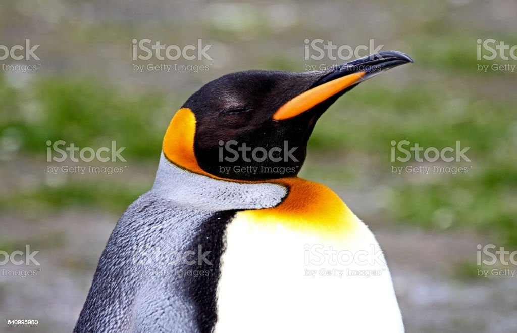 King Penguin stock photo