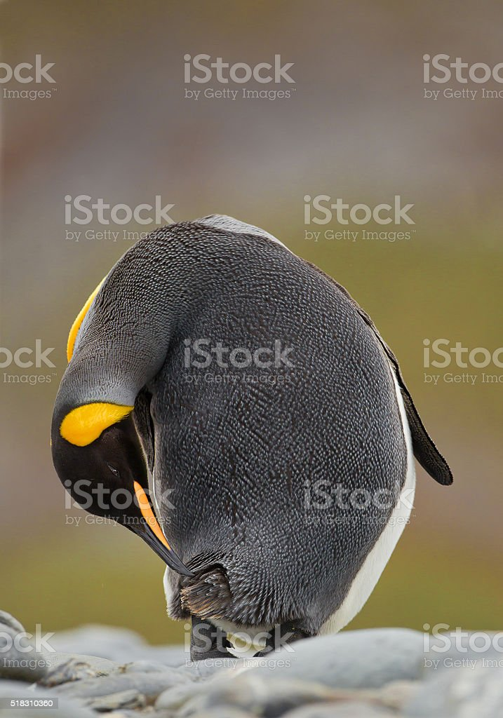 King penguin portrait, cleaning feathers, with clean background, stock photo