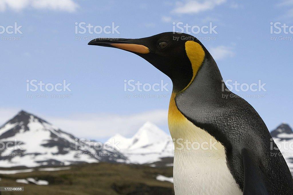 King Penguin, South Georgia royalty-free stock photo