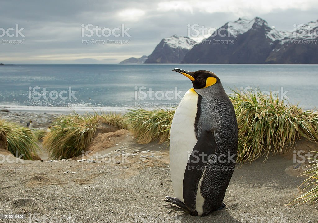 King penguin standing on the sandy beach stock photo