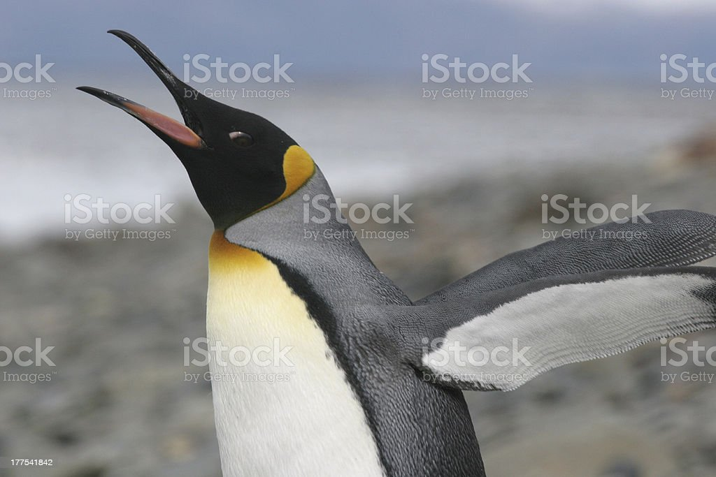 King Penguin stretches his wings, South Georgia stock photo