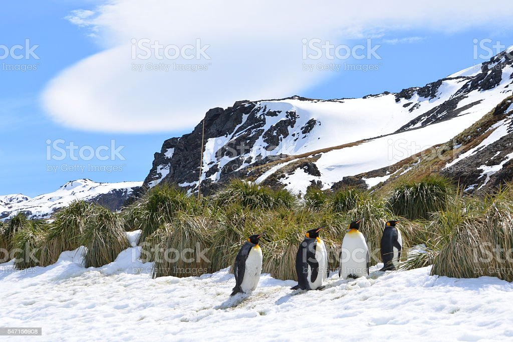 King Penguins and Lenticular Cloud stock photo