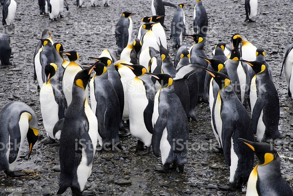 King Penguins at Black Beach South Georgia royalty-free stock photo