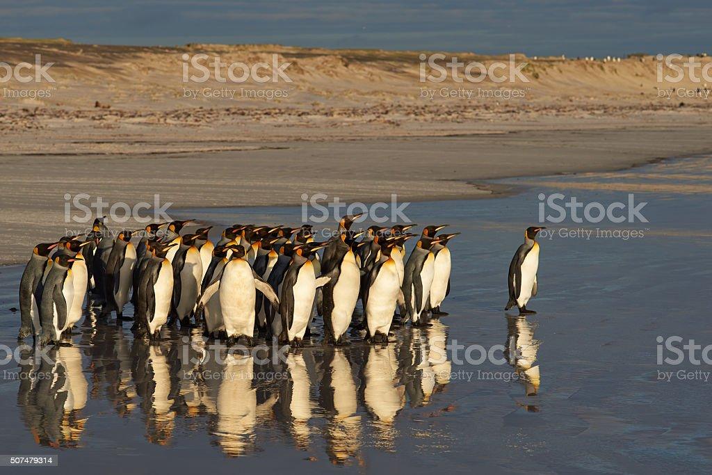 King Penguins at Daybreak stock photo