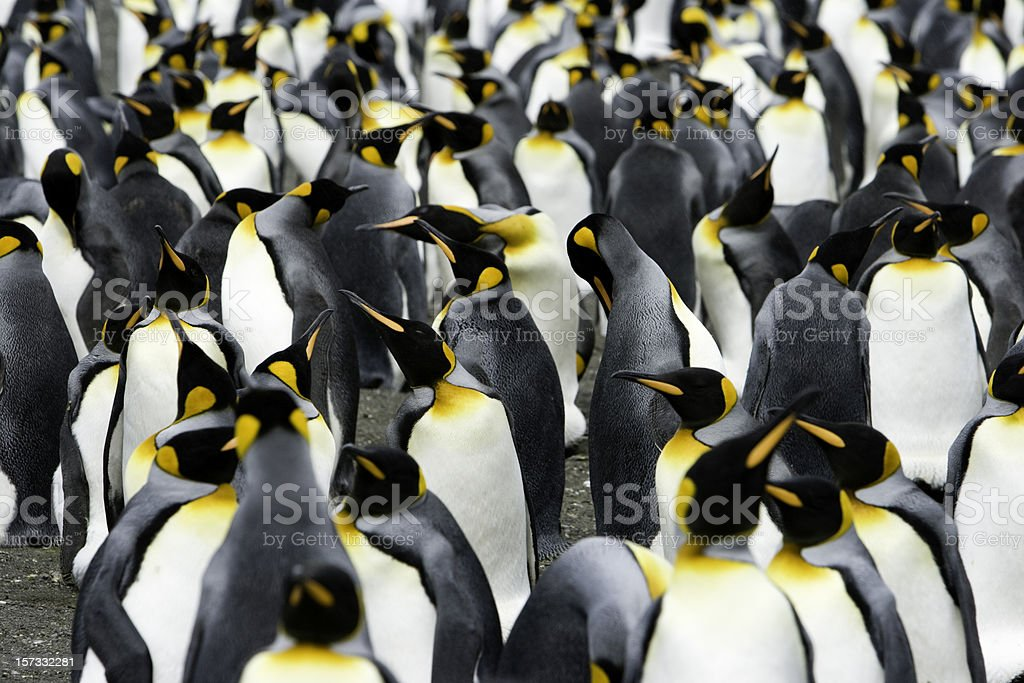 King Penguins Colony royalty-free stock photo