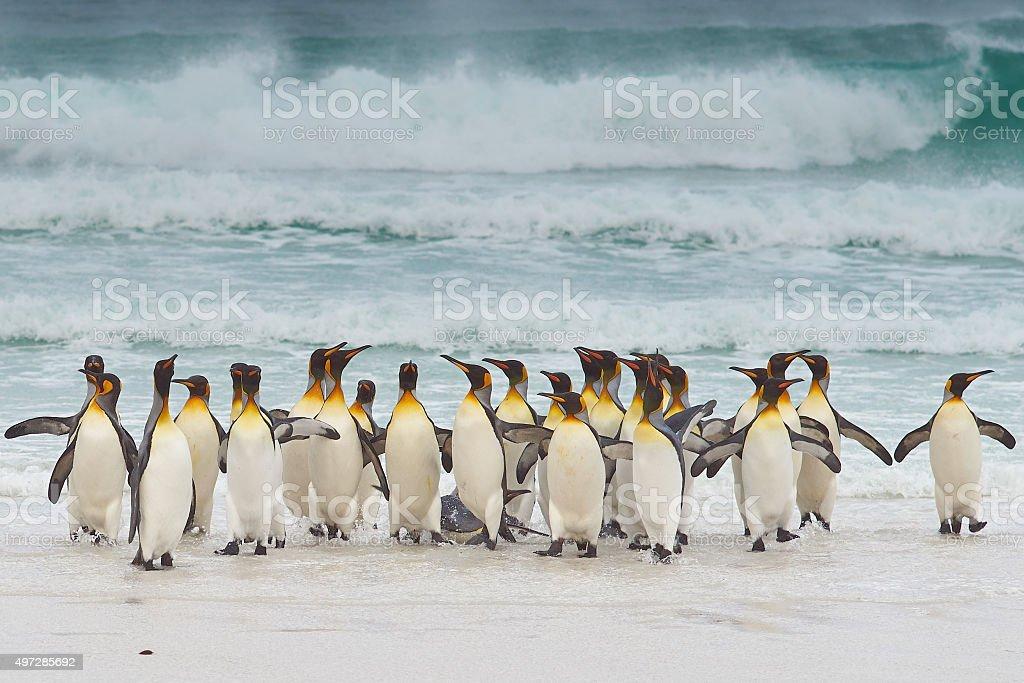 King Penguins Coming Ashore stock photo