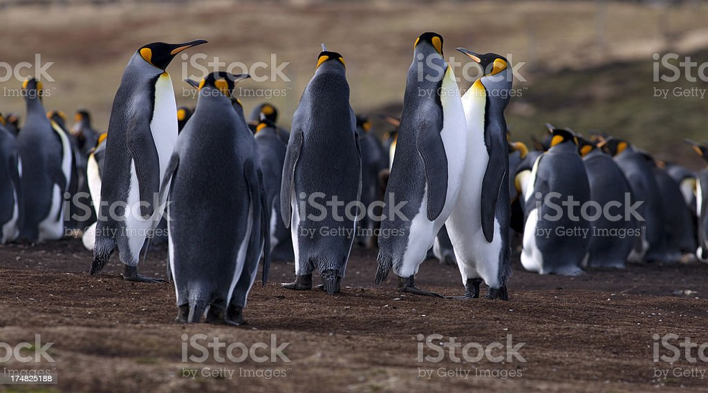 King Penguins, Falkland Islands royalty-free stock photo