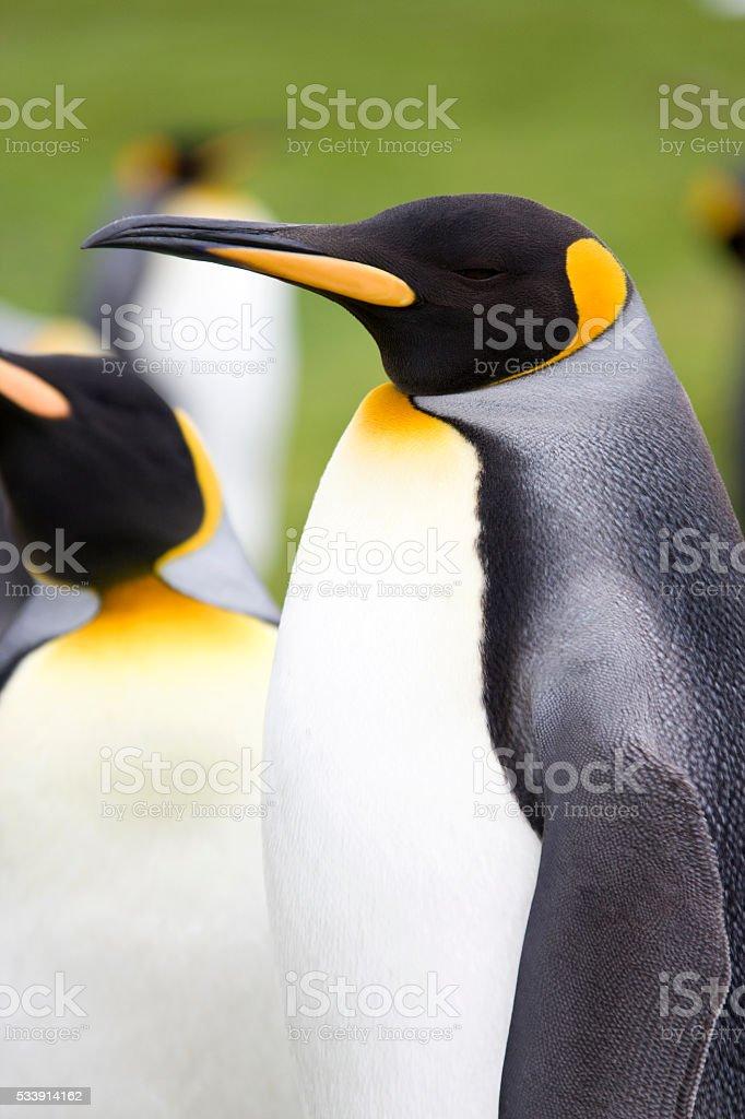 King Penguins (Aptenodytes patagonicus) - Falkland Islands stock photo