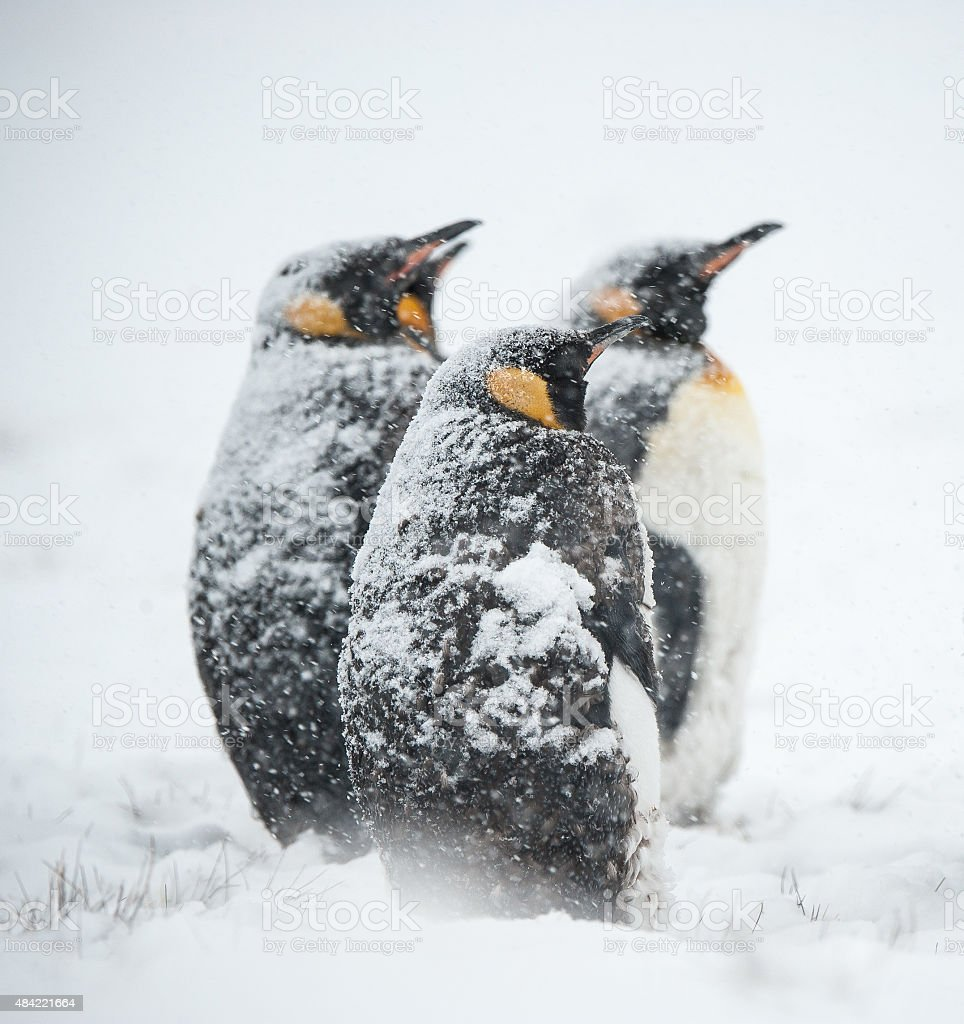King penguins in the snow in South Georgia stock photo