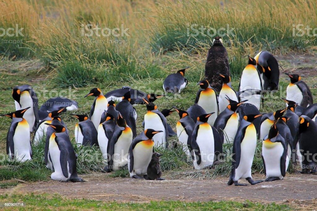 King penguins living wild at Parque Pinguino Rey, Patagonia, Chile stock photo
