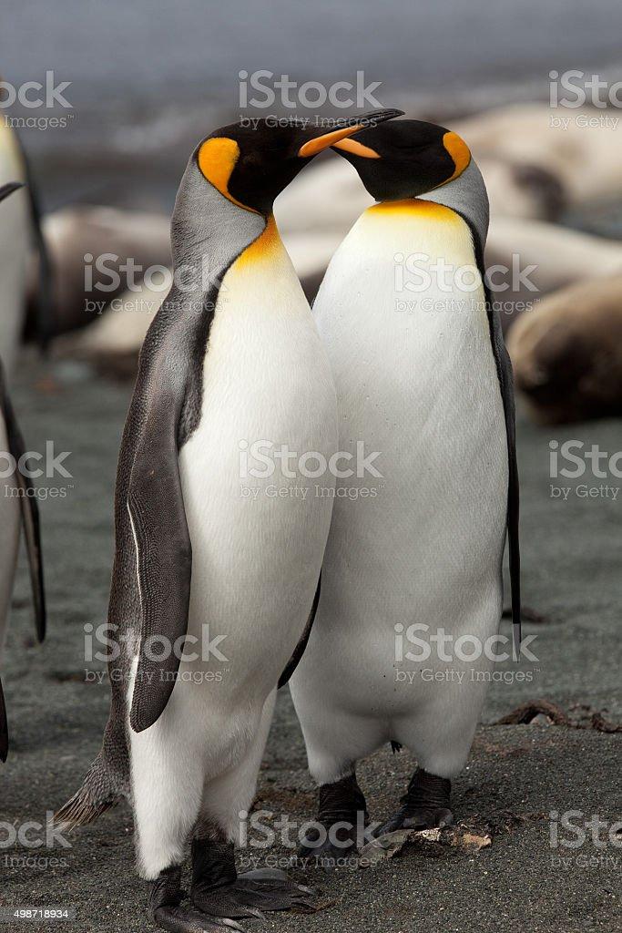 King Penguins, Macquarie Island stock photo