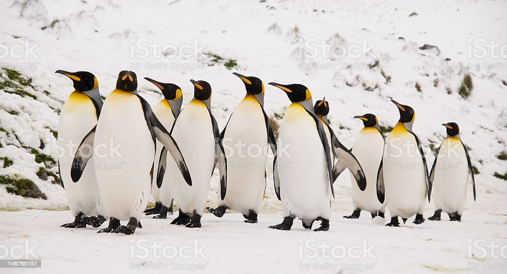 King Penguins marching royalty-free stock photo