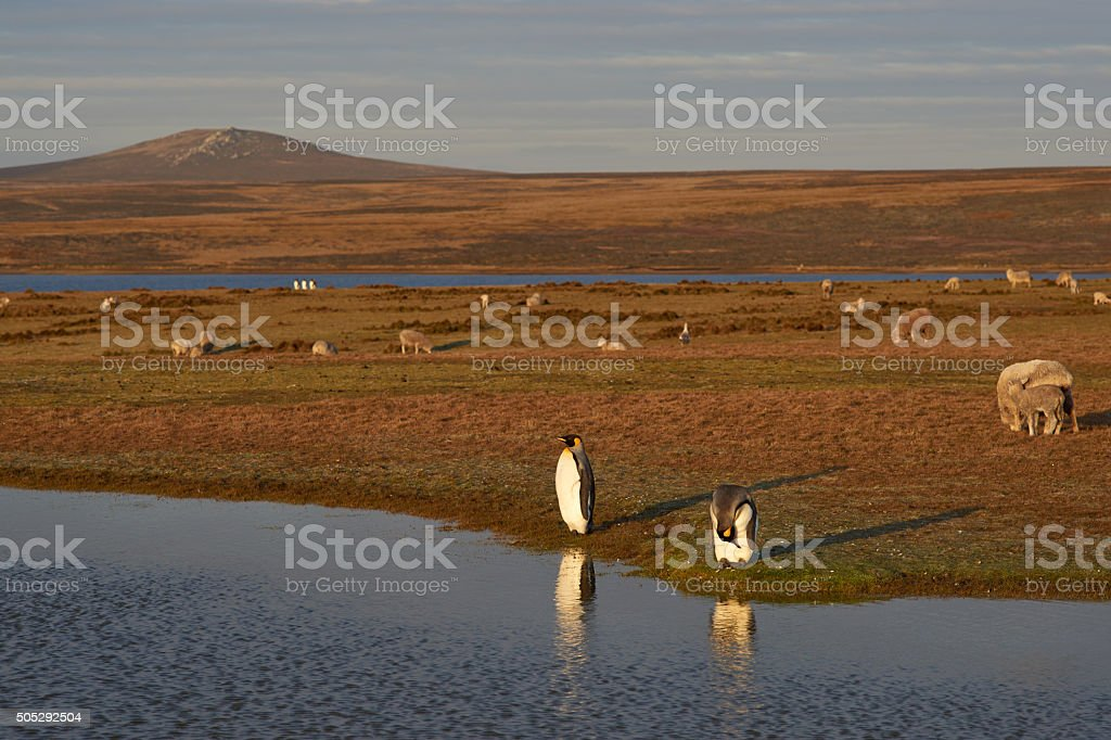 King Penguins on a Sheep Farm stock photo