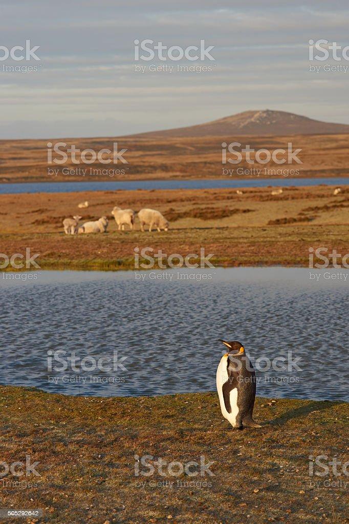 King Penguins on a Sheep Farm stock photo