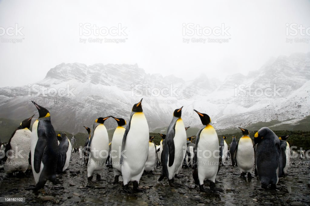 King Penguins on Rocky Beach South Georgia stock photo