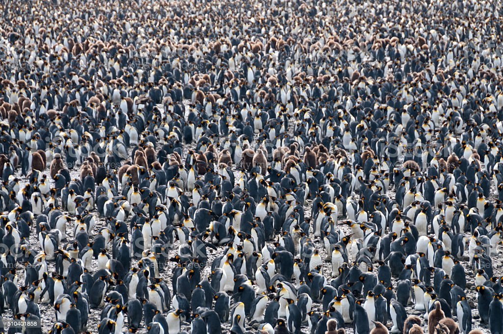 King Penguins on Salisbury plains stock photo