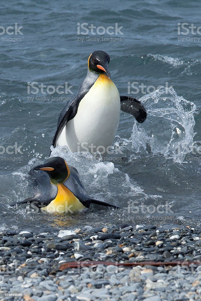 King Penguins royalty-free stock photo