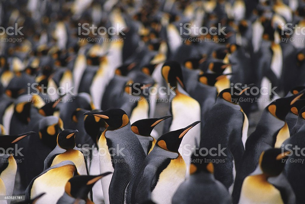 King penguins stock photo