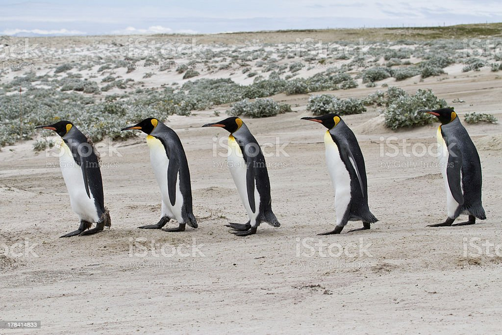 King penguins waddle in a row royalty-free stock photo