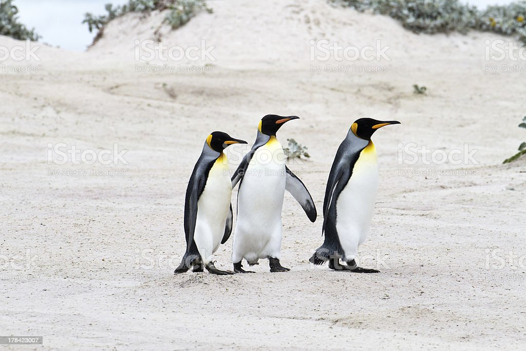 King penguins walking in a row, falkland islands royalty-free stock photo