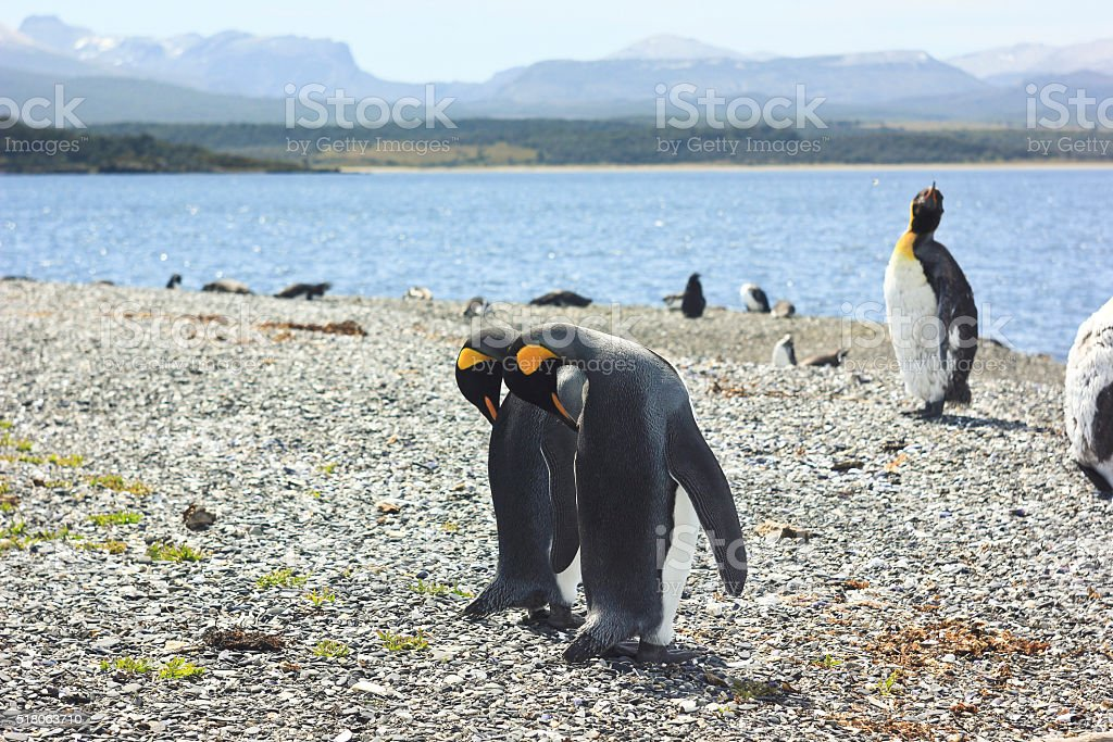 king pinguins near sea stock photo