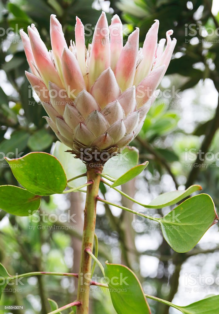 King Protea (Protea cynaroides) stock photo
