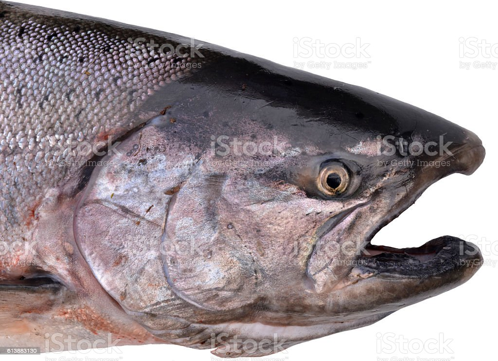 King salmon, Alaska stock photo