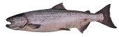 King salmon, Alaska, USA