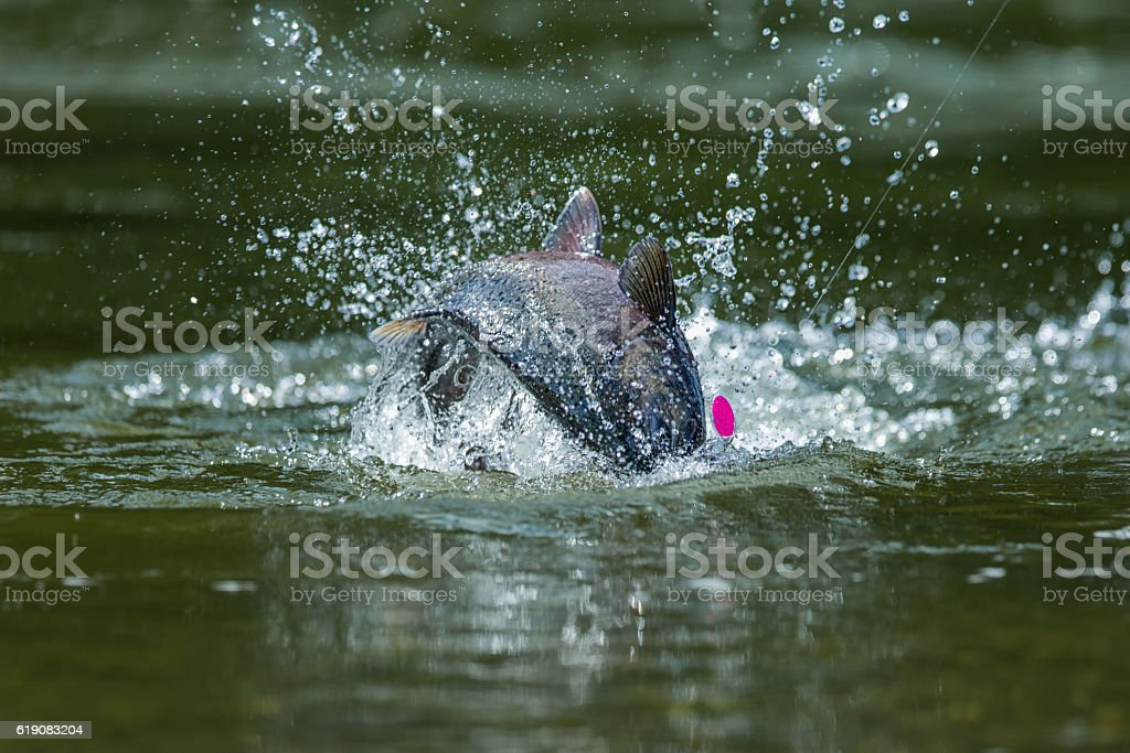 King Salmon fishing in Canada stock photo