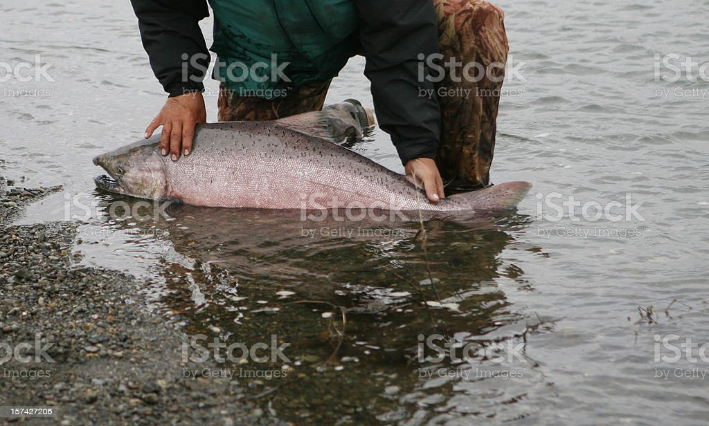 King Salmon Release - Fly Fishing In Alaska stock photo