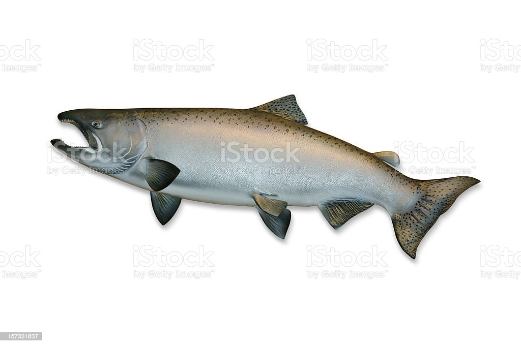 King Salmon with Clipping Path royalty-free stock photo