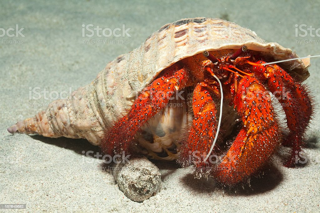 King Size White-spotted Hermit Crab in adult Trumpet Triton Shell stock photo