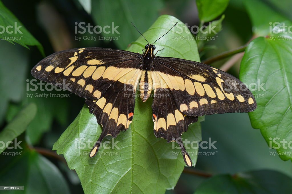 King Swallowtail butterfly stock photo
