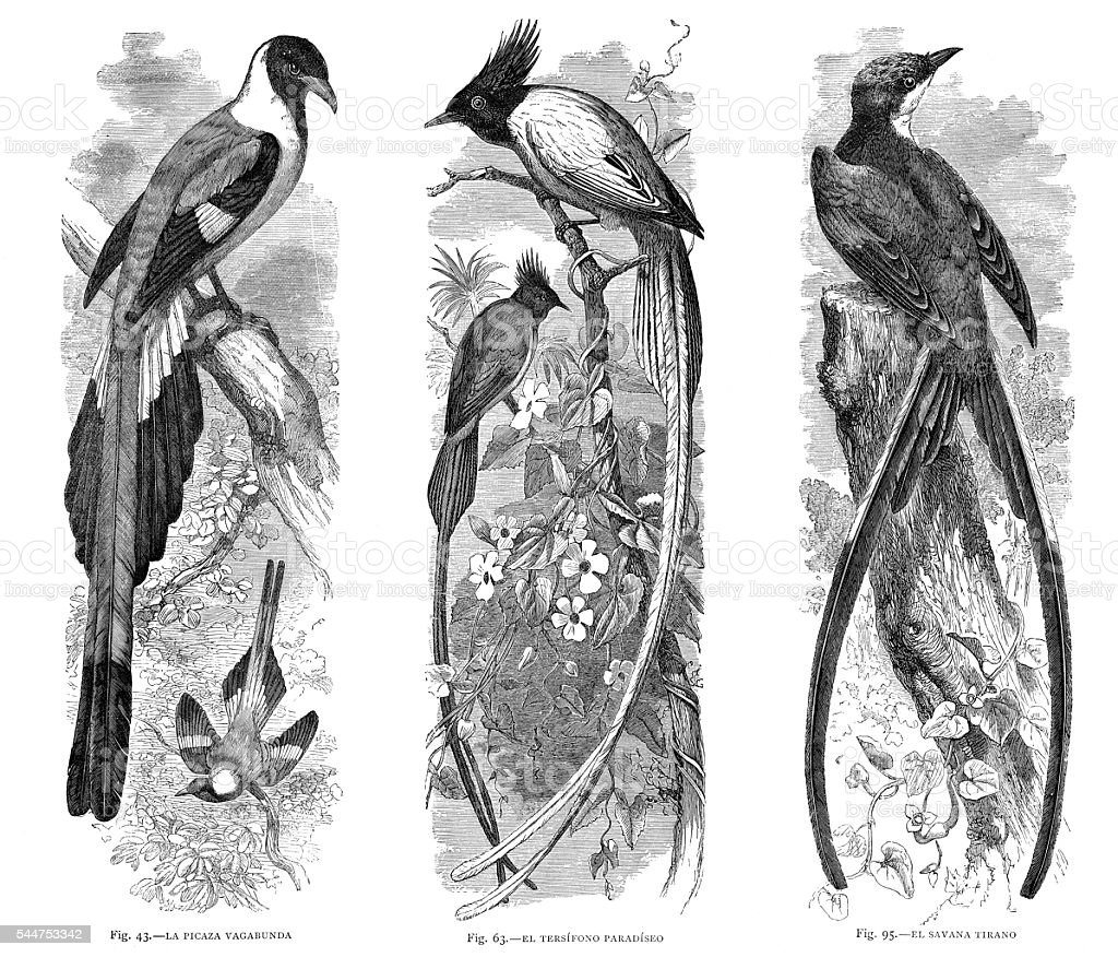 Kingbirds Flycatcher birds illustration 1881 stock photo
