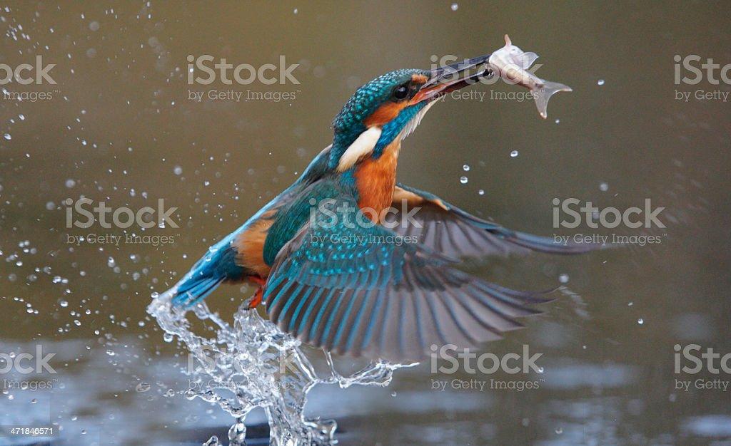 Kingfisher, Alcedo atthis stock photo