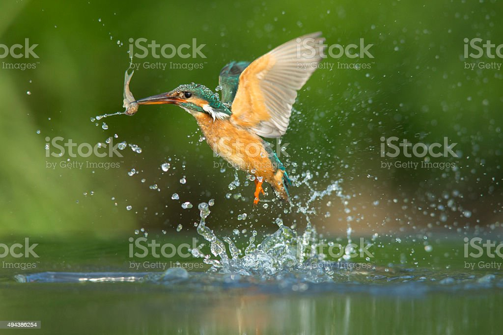 Kingfisher - Alcedo atthis stock photo