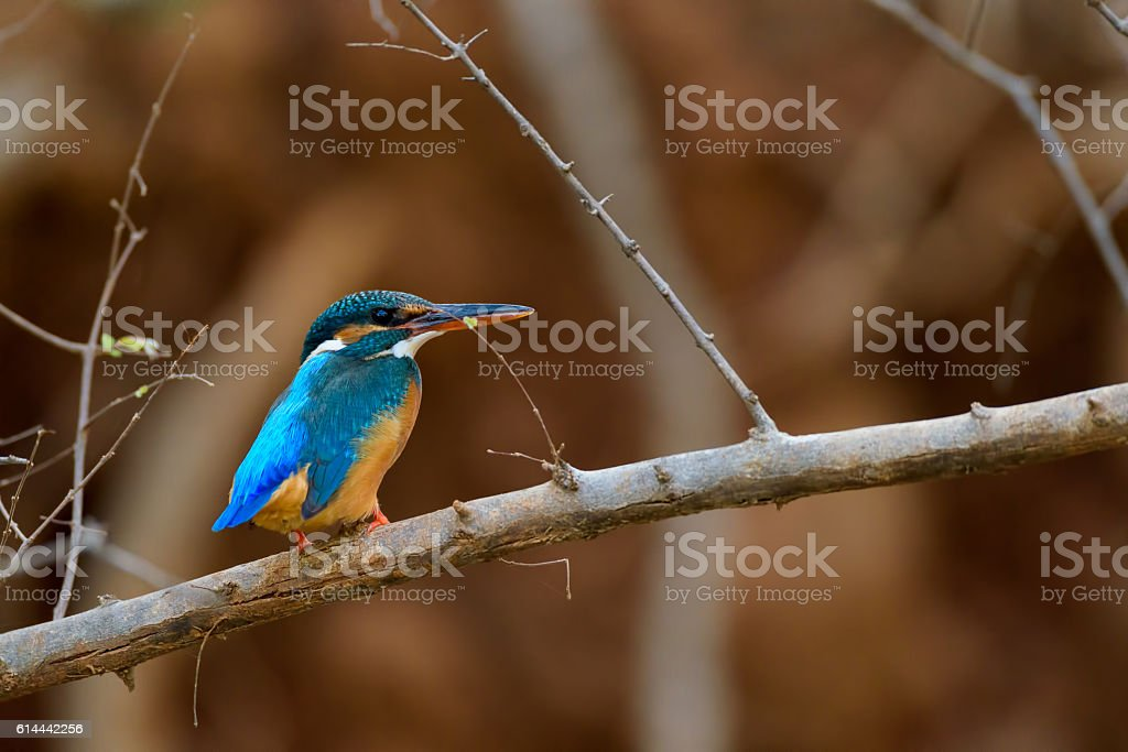 Kingfisher bird sitting on branch with brown background stock photo