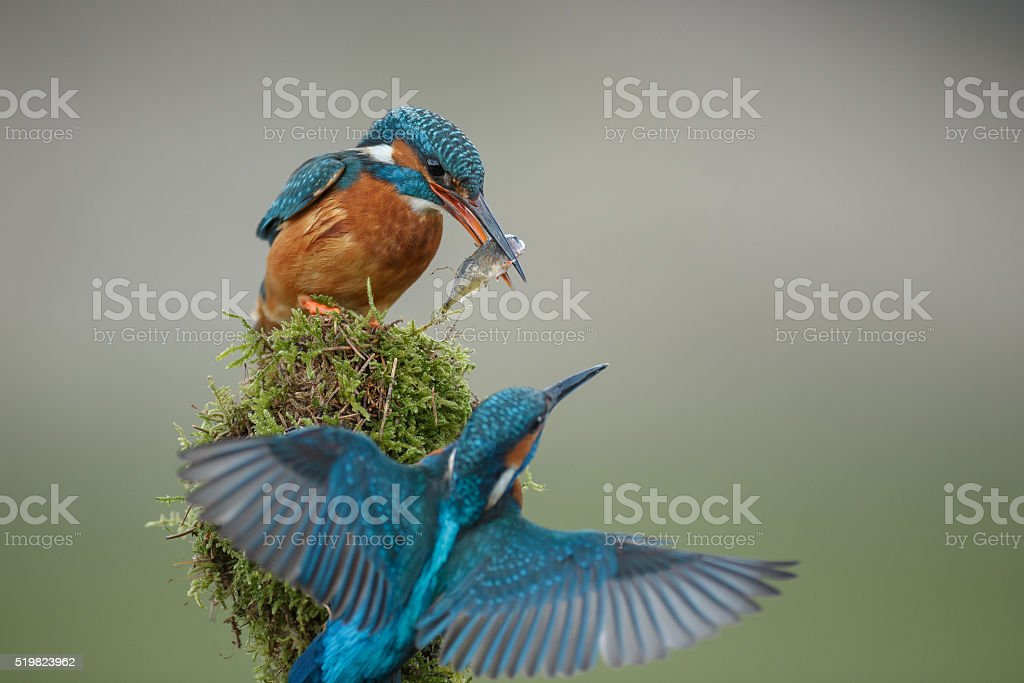 Kingfisher courtship ritual stock photo