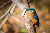 kingfisher eating beautiful color in blue and brown