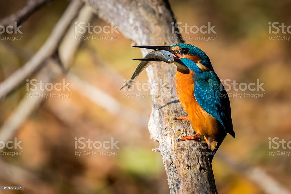 kingfisher eating beautiful color in blue and brown stock photo