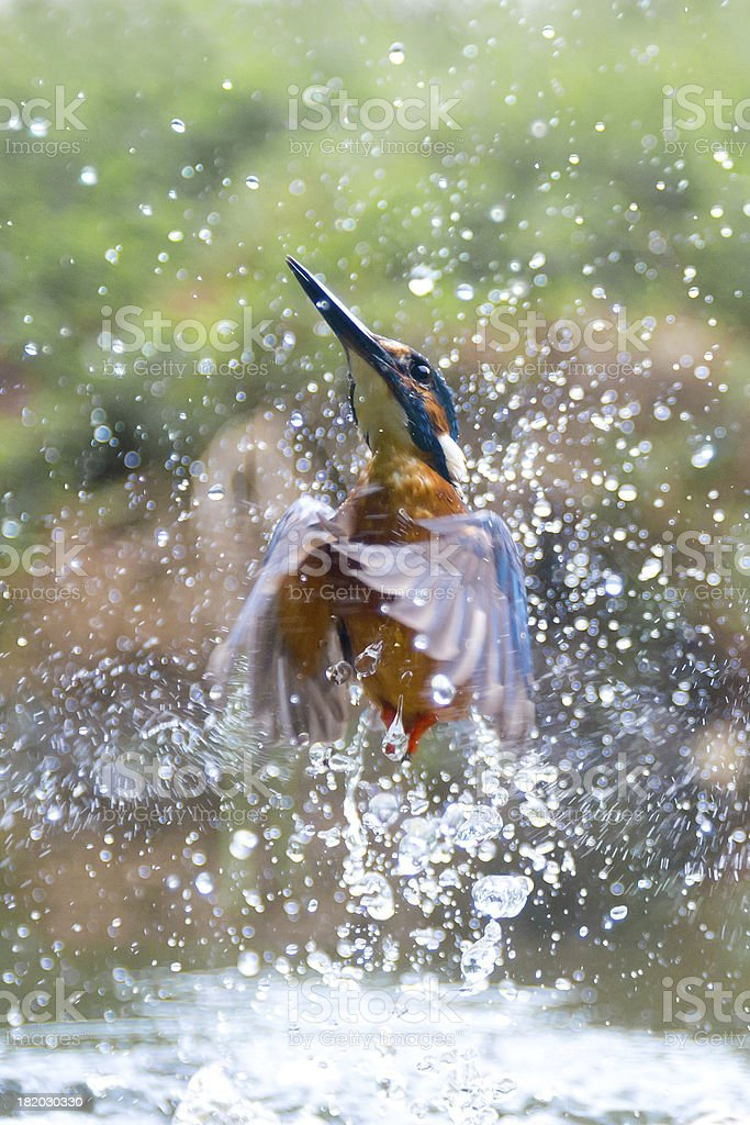 Kingfisher erupts from the water stock photo