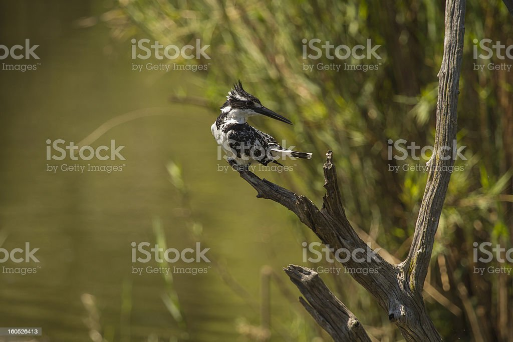 Pied Kingfisher royalty-free stock photo
